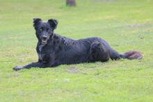 PENNY, Hund, Collie-Mix in Hoogstede - Bild 7