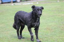 PENNY, Hund, Collie-Mix in Hoogstede - Bild 9