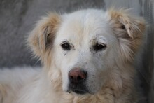 ELIANA, Hund, Golden Retriever-Mix in Rumänien - Bild 1