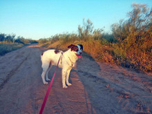 BILLY, Hund, Bodeguero Andaluz-Mix in Spanien - Bild 6
