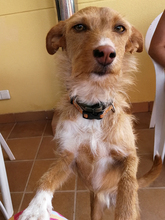 NATASHA, Hund, Podenco-Mix in Spanien - Bild 1