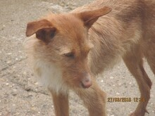 NATASHA, Hund, Podenco-Mix in Spanien - Bild 10