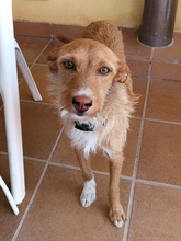 NATASHA, Hund, Podenco-Mix in Spanien - Bild 11