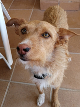 NATASHA, Hund, Podenco-Mix in Spanien - Bild 13