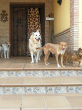 NATASHA, Hund, Podenco-Mix in Spanien - Bild 14
