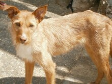 NATASHA, Hund, Podenco-Mix in Spanien - Bild 4