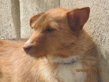 NATASHA, Hund, Podenco-Mix in Spanien - Bild 5