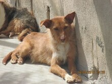 NATASHA, Hund, Podenco-Mix in Spanien - Bild 6