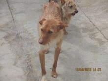 NATASHA, Hund, Podenco-Mix in Spanien - Bild 7