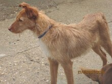 NATASHA, Hund, Podenco-Mix in Spanien - Bild 8