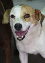 CHUPETE, Hund, Beagle-Mix in Spanien - Bild 1