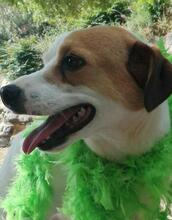 CHUPETE, Hund, Beagle-Mix in Spanien - Bild 10