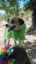 CHUPETE, Hund, Beagle-Mix in Spanien - Bild 15