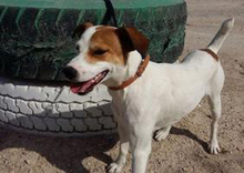 CHUPETE, Hund, Beagle-Mix in Spanien - Bild 17