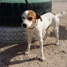 CHUPETE, Hund, Beagle-Mix in Spanien - Bild 18