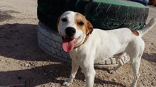 CHUPETE, Hund, Beagle-Mix in Spanien - Bild 19
