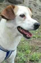 CHUPETE, Hund, Beagle-Mix in Spanien - Bild 3