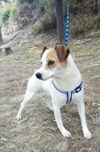 CHUPETE, Hund, Beagle-Mix in Spanien - Bild 4