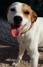 CHUPETE, Hund, Beagle-Mix in Spanien - Bild 5