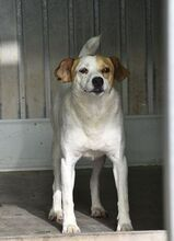 CHUPETE, Hund, Beagle-Mix in Spanien - Bild 6