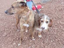 DOLY, Hund, Terrier-Mix in Spanien - Bild 4