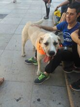MARK, Hund, Mastino Napoletano-Mix in Spanien - Bild 3
