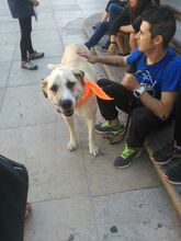 MARK, Hund, Mastino Napoletano-Mix in Spanien - Bild 5