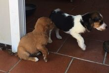 LIDIA, Hund, Beagle-Mix in Italien - Bild 12