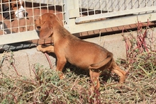 LIDIA, Hund, Beagle-Mix in Italien - Bild 4