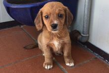 LIDIA, Hund, Beagle-Mix in Italien - Bild 7