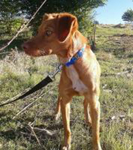 NAILAH, Hund, Podenco-Mix in Spanien - Bild 3