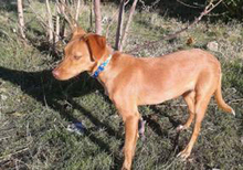 NAILAH, Hund, Podenco-Mix in Spanien - Bild 7