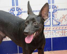 PINCHO, Hund, Pinscher-Mix in Spanien - Bild 1