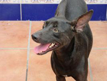 PINCHO, Hund, Pinscher-Mix in Spanien - Bild 2