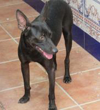 PINCHO, Hund, Pinscher-Mix in Spanien - Bild 3