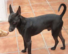 PINCHO, Hund, Pinscher-Mix in Spanien - Bild 4