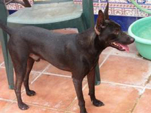 PINCHO, Hund, Pinscher-Mix in Spanien - Bild 5