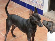 PINCHO, Hund, Pinscher-Mix in Spanien - Bild 6
