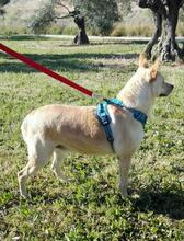 RICKY, Hund, Podenco-Mix in Spanien - Bild 2