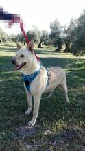 RICKY, Hund, Podenco-Mix in Spanien - Bild 4