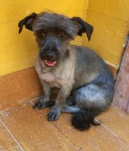 BARBIE, Hund, Tibet Terrier in Spanien - Bild 4