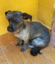 BARBIE, Hund, Tibet Terrier in Spanien - Bild 5