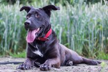 DAJA, Hund, Labrador Retriever-Mix in Warendorf - Bild 2