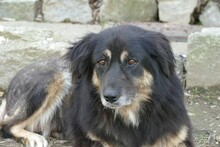 MAIKA, Hund, Hovawart-Mix in Gefrees - Bild 6