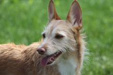 BILLIE, Hund, Podenco-Mix in Köln - Bild 14