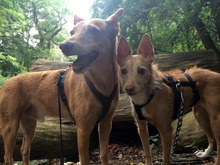 BILLIE, Hund, Podenco-Mix in Köln - Bild 20
