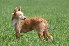 BILLIE, Hund, Podenco-Mix in Köln - Bild 23