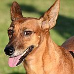 QUIRA, Hund, Podenco-Mix in Spanien - Bild 1