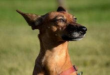 QUIRA, Hund, Podenco-Mix in Spanien - Bild 11