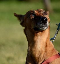 QUIRA, Hund, Podenco-Mix in Spanien - Bild 14